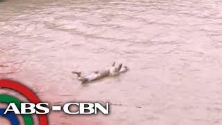 Patay na baboy na nakuha sa Marikina River umabot na sa 58 | TV Patrol
