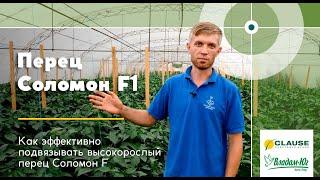 Как эффективно подвязывать высокорослый перец Соломон F1   Опыт европейских фермеров   Анвар Элибаев