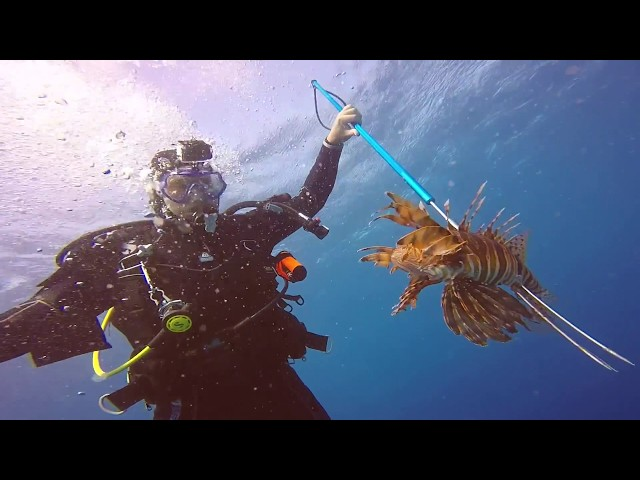 Giant Lionfish killed in Aruba Shown Alive Here!