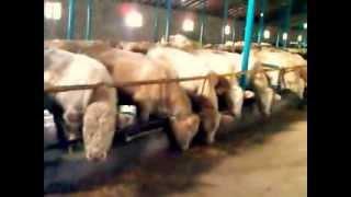 Ферма КРС 220-голов мясного скота(Мясные породы.Шароле,Ангус., 2013-12-21T20:50:33.000Z)