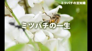 ミツバチの一生(字幕アリ)