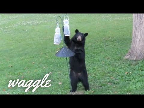 Food Thieves | Funny Animal Fail Videos