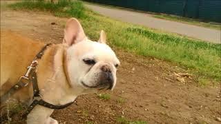 フレブルの老犬タロウ12歳の時です。 撮影日 2016.07.02第...