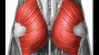 Gluteus Maximus - Functional Anatomy
