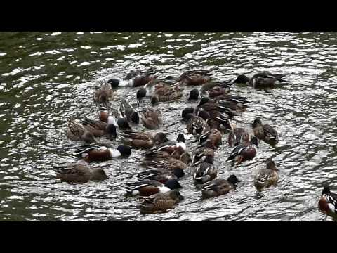 Japanese ducks caught in a whirlpool!