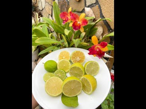 """Limette – Citrus Aurantifolia """"Tahiti"""", """"Messicana"""", """"della Corsica"""""""