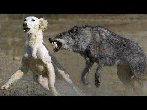 Unexpected encounter between Wolf and Dog shocked the world. What came next is s