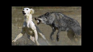 Unexpected encounter between Wolf and Dog shocked the world. What came next is simply incredible!