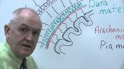 Meninges and skull protect the brain