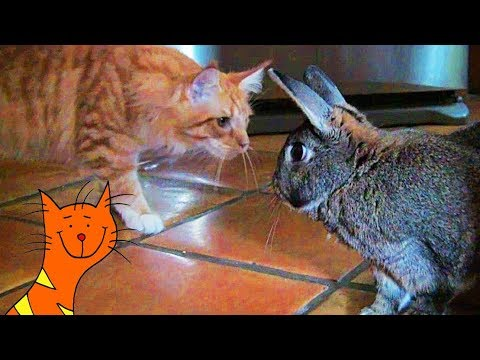 Cat Meets Rabbit! Maine Coon Monty Meets Squiggles The Bunny Rabbit