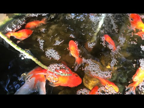 Catches Up A Lot Of Koi Fish And Better Fish- Keep In Safety Area/Fishing Day
