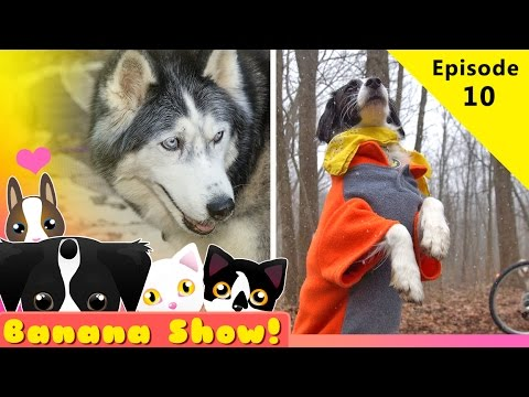 Siberian huskies talking! Camping in the SNOW | Banana the Talking Dog Show Ep: 10