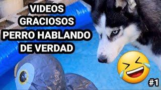 VIDEOS GRACIOSOS 🤣 de perro HABLANDO 🤪 de verdad #1 || Max the husky ❤