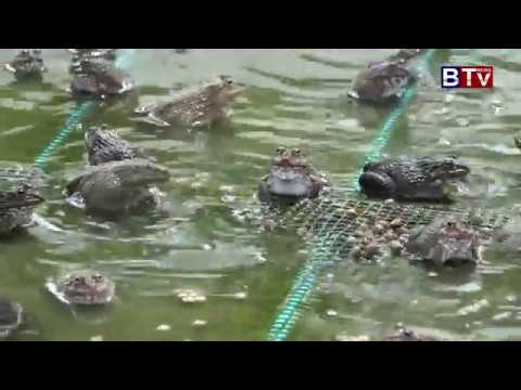 AGRICULTURE : Frog Feeding in 7 Makara Fish Farm ( Date16 9 2017 04)_Vol.04