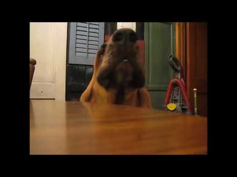 Funny Bloodhound Videos