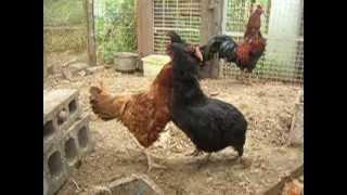 昨年貰った鶏は軍鶏となにかの種類を掛け合わせブロイラー用に作られた...