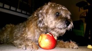 Border Terrier Eating Stolen Apple