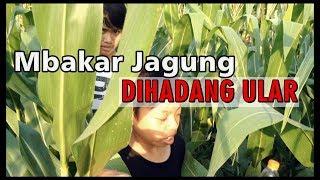 Dihadang Ular saat Metik Jagung (Hajar Pamuji & Dimas Squad)