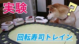 柴犬小春 【実験】回転寿司トレインで大好物が次々に運ばれてきたらどうする?sushi train