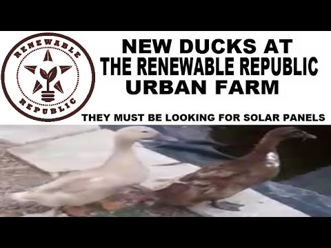 NEW DUCKS HAVE ARRIVED at THE RENEWABLE REPUBLIC URBAN FARM HOME San Antonio Solar Panel Installer
