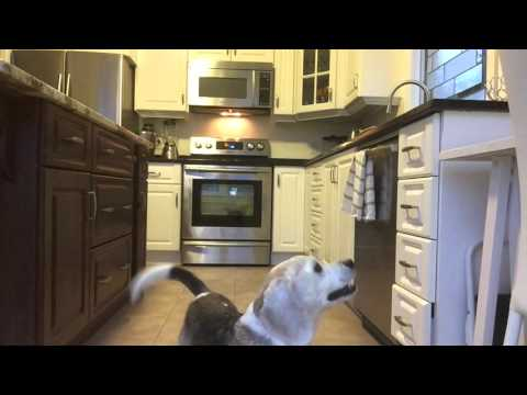 Beagle finds a way to jump on kitchen counter