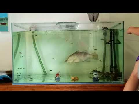 Fish Tank Feeding Frenzy Barramundi & Yabbies
