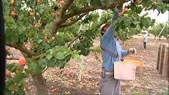 B & R Farms California Dried Apricots