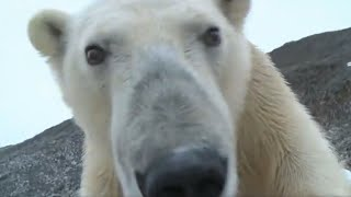 Best Polar Bear Moments | Part 2 | BBC Earth
