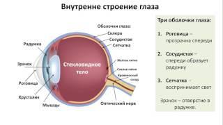 21.1 Анализаторы зрение (8 класс) биология, подготовка к ЕГЭ и ОГЭ