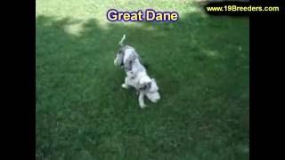Great Dane, Puppies, For, Sale, In, Anchorage, Alaska,AK, Fairbanks, Juneau, Eagle River
