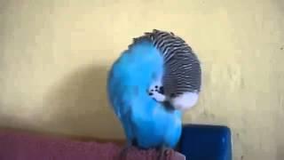 Жизнь попугайская! Говорящий попугай Кешка   смешное видео