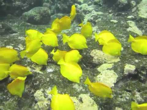 School of yellow tang fish in Kealakekua Bay Hawaii