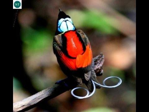 Mê mẩn ngắm loài chim Thiên đường đẹp nhất thế giới