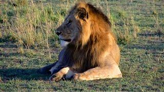 Masai Mara -  Safariabenteuer im Tierparadies - Tierherden, Gnuwanderung und Raubtiere