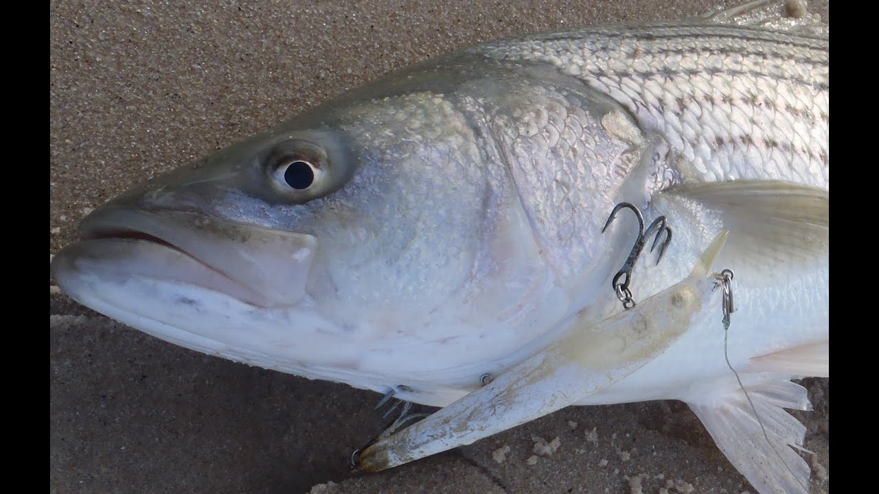 Striper surf fishing bomber lures youtube for Surf fishing for stripers