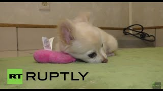 USA: Meet Nimble, the puppy fighting for new legs