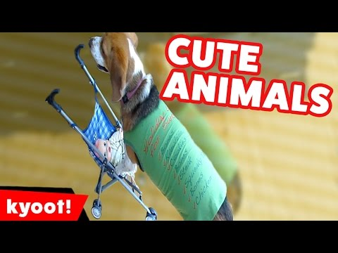DOG PUSHES STROLLER WITH BABY DOLL & MORE Funny Pet & Animal Videos of 2016 | Kyoot Animals