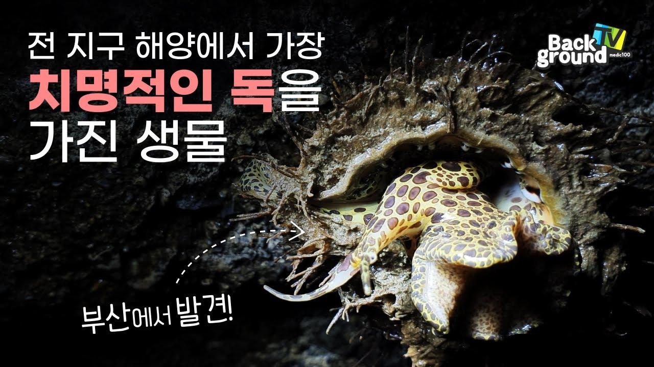 복어독의 50배!! 최강의 독을 가진 고둥을 부산 바다에서 발견했습니다. 그런데 이 고둥이 관상용으로 멸종 위기?