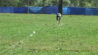What is Lure Coursing? | United Kennel Club (UKC)