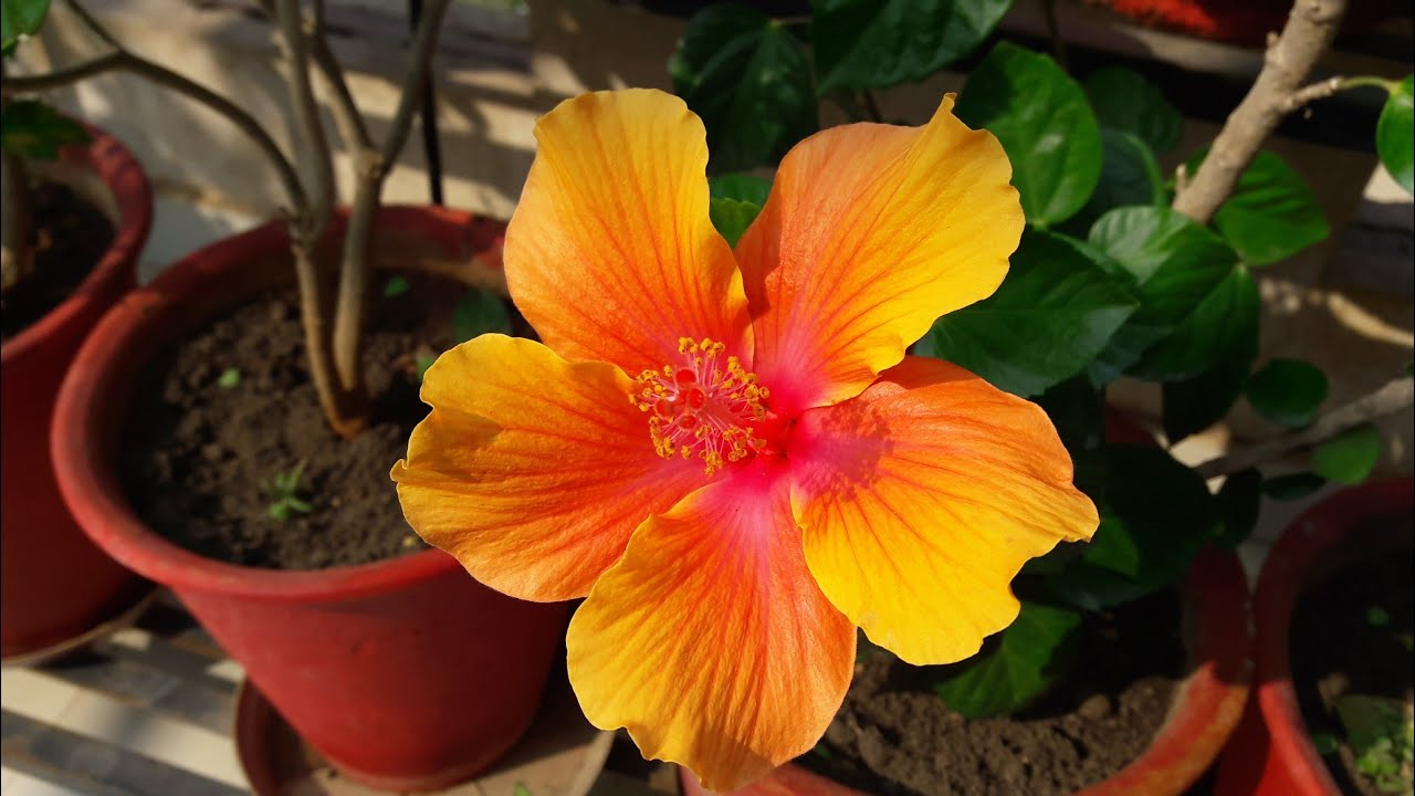 Winter Care Of Hibiscus How To Grow And Care Hibiscus In Winters