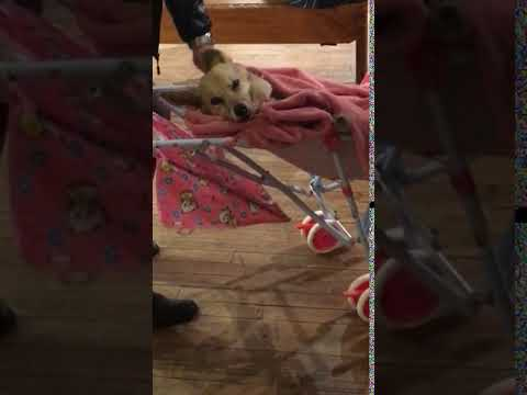 Animalsdt  dog relaxes in pink stroller