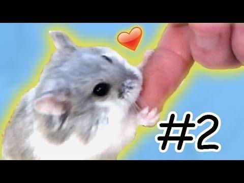 Hamster zhmen  Futterzahm & Interaktion #Zhmungstagebuch02