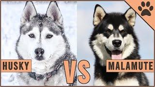 Alaskan Malamute vs Siberian Husky - Dog vs Dog