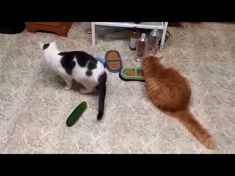 Funny cats scared of cucumbers | cat vs cucumber compilation | Funny Cat Compilation