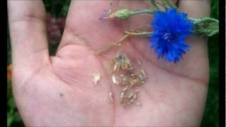 How To Save Bachelor's Button, Cornflower Seeds In Your Garden