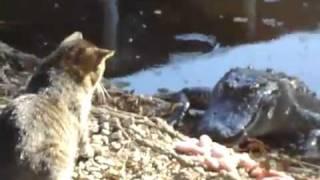 Кошка и крокодил