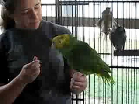 Amazon parrot talking