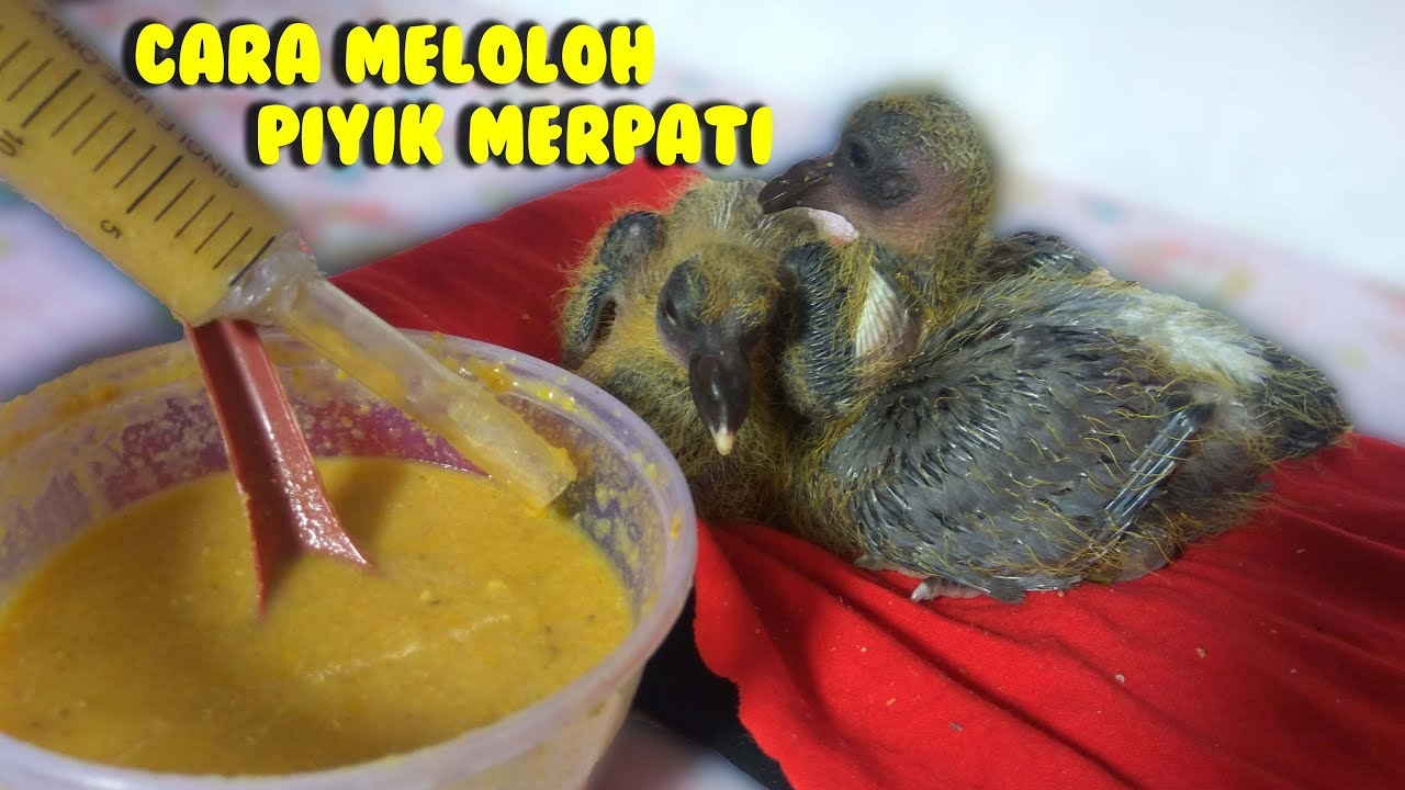 Cara Meloloh Piyik Merpati Balap Yang Benar Cocok Untuk