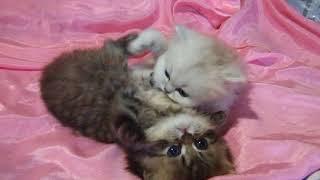 Персидские котята   DSCF0534