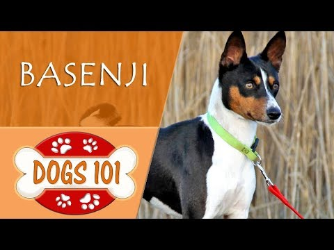 Dogs 101 - BASENJI - Top Dog Facts About the BASENJI